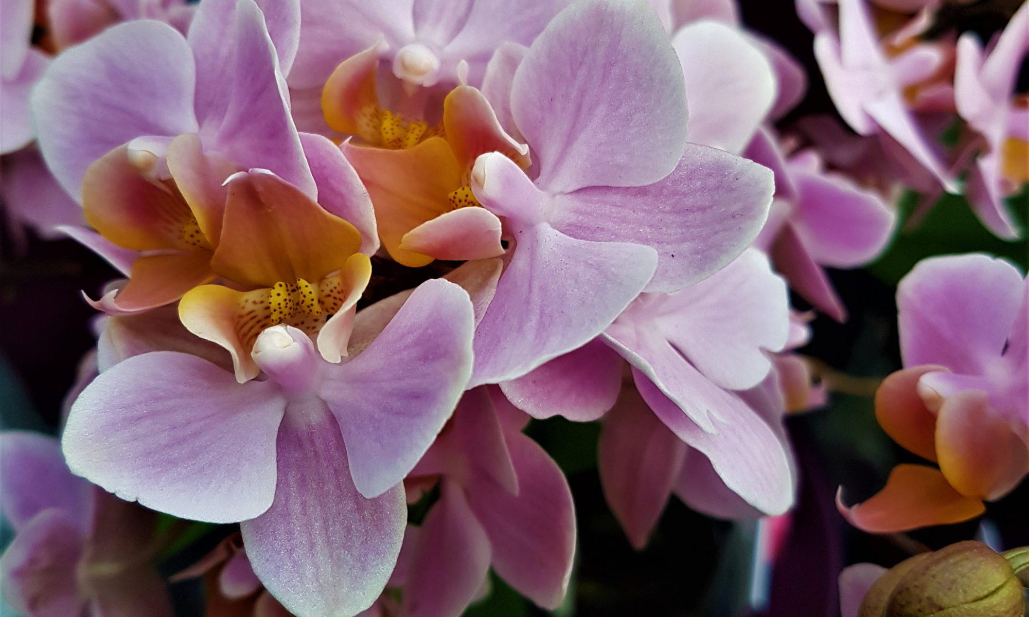 die bekannteste orchidee berhaupt die phalaenopsis. Black Bedroom Furniture Sets. Home Design Ideas