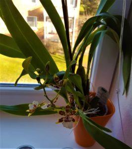 Cambria Orchidee